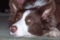 border collie 10