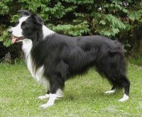border collie 14