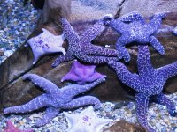 Pretty Purple Starfish