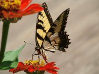 Tiger Swallowtail on Red