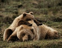 Yellowstone Grizzly Bears