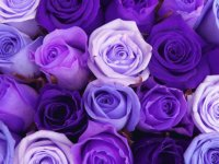 Shades of Purple Roses