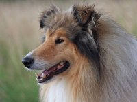 canino- collie