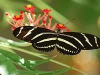 Cebra Longwing - Florida