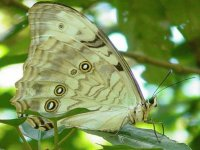 Morpho Blanco - América Central,  Antillas