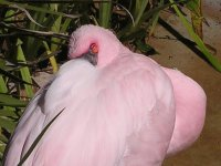 Snoozing Lesser Flamingo