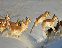 Pronghorn on the move - Colorado