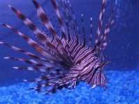 Great Barrier Reef Lionfish-Australia