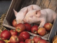 Piglets in Apple Crate