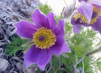 Pulsatilla Vulgaris-Pasque Flower