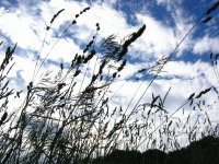 long grass against blue sky