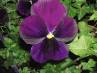 Purple pansies 3
