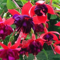 Dark Eyes Trailing Fuchsia