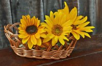 Baskets of sunflowers