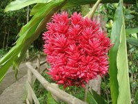 Red Ginger - Asia