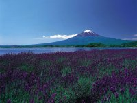 fields, flowers and Fuji