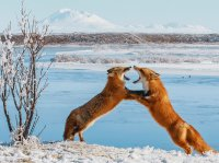 sparring foxes