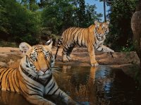 tigers at water