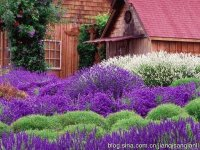 Cabin Surrounded by Purple Flowers