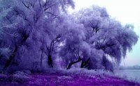 Purple Feathery Trees-Art