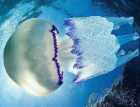 atlantic jellyfish
