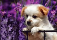Adorable Puppy in the Purple Flowers