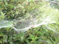 Spiderwebs on a bush