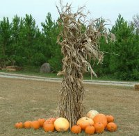 corn stalks and pumpkins