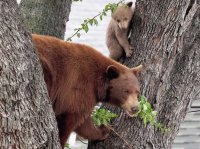 bears in tree
