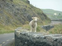 lamb on wall ireland