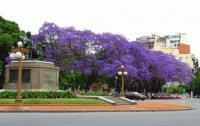 Jacaranda Trees in Argentina