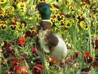 Duck with Flowers