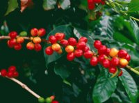 Red Coffee Arabica plant   Hawaii  USA