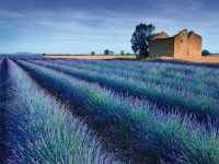 Stone Barn in Lavender field