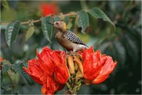 South African Flower with Bird