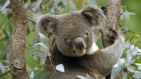 Koala in Eucalyptustree