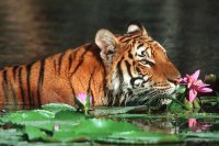 Swimming Tiger in Bangladesh