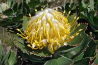 Protea Flower  South Africa