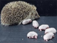 Young Hedgehogs