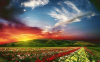 Flowerfields in the evening
