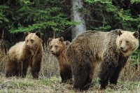 Bears in Jasper National Park  Canada