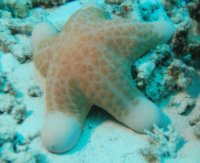 Pacific and Indian Ocean Starfish  Choriasten