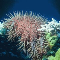 Red Sea Starfish  Acanthaster Planci
