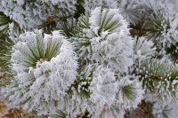 Frost on Pine trees