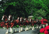 Clydesdales in Rose Parade-5 hour prep time