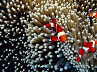 Clown Fish between the Anemone