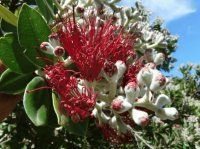 Puhutukawa Flower South Island  New Sealand