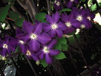 Purple Clematis on Fence