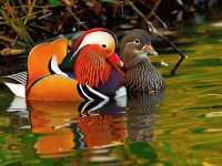 Mandarin Ducks couple