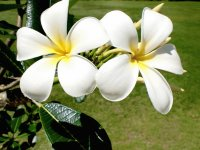 Beautiful Flower  Fiji